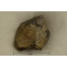 Leptoceratops Tooth